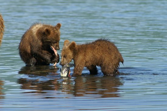 Bears eating fish