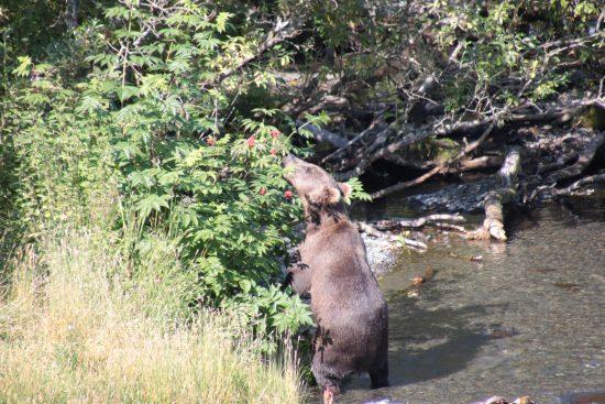 Bear eating elderberries