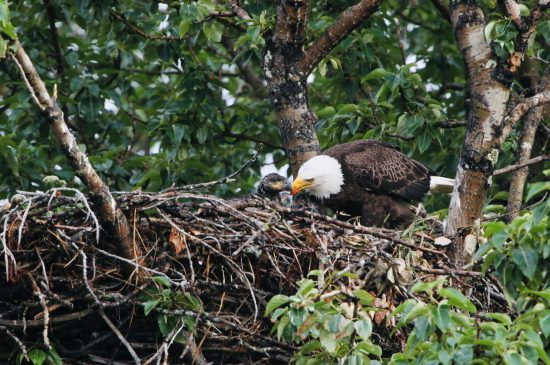 Eagle nest and young