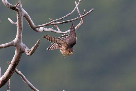 sharpshined hawk